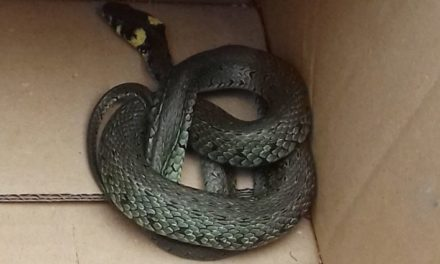 W gm. Ojrzeń znaleziono węża