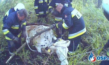 Kondrajec Pański: Strażacy uratowali tonącą krowę