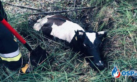 Kondrajec Pański: Krowy tonęły w bagnie. Na pomoc ruszyli strażacy