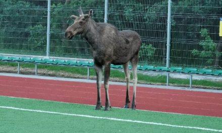 Sońsk: Łoś wbiegł na szkolone boisko