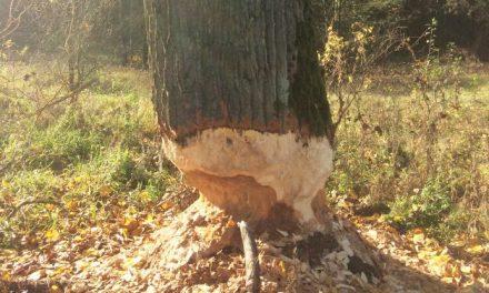Miasto zabezpieczy drzewa przed bobrami