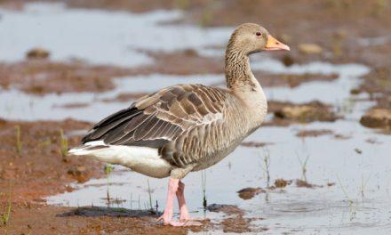 Powiat ciechanowski: Pierwszy przypadek ptasiej grypy u dzikich ptaków