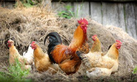 Ogniska ptasiej grypy wygaszone